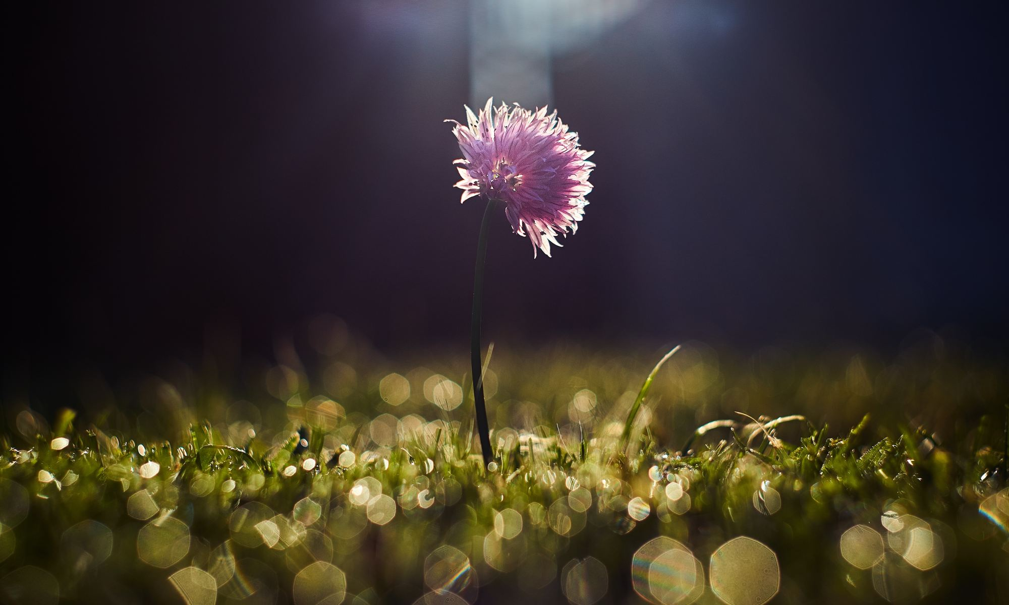 Single purple flower growing on lawn at night