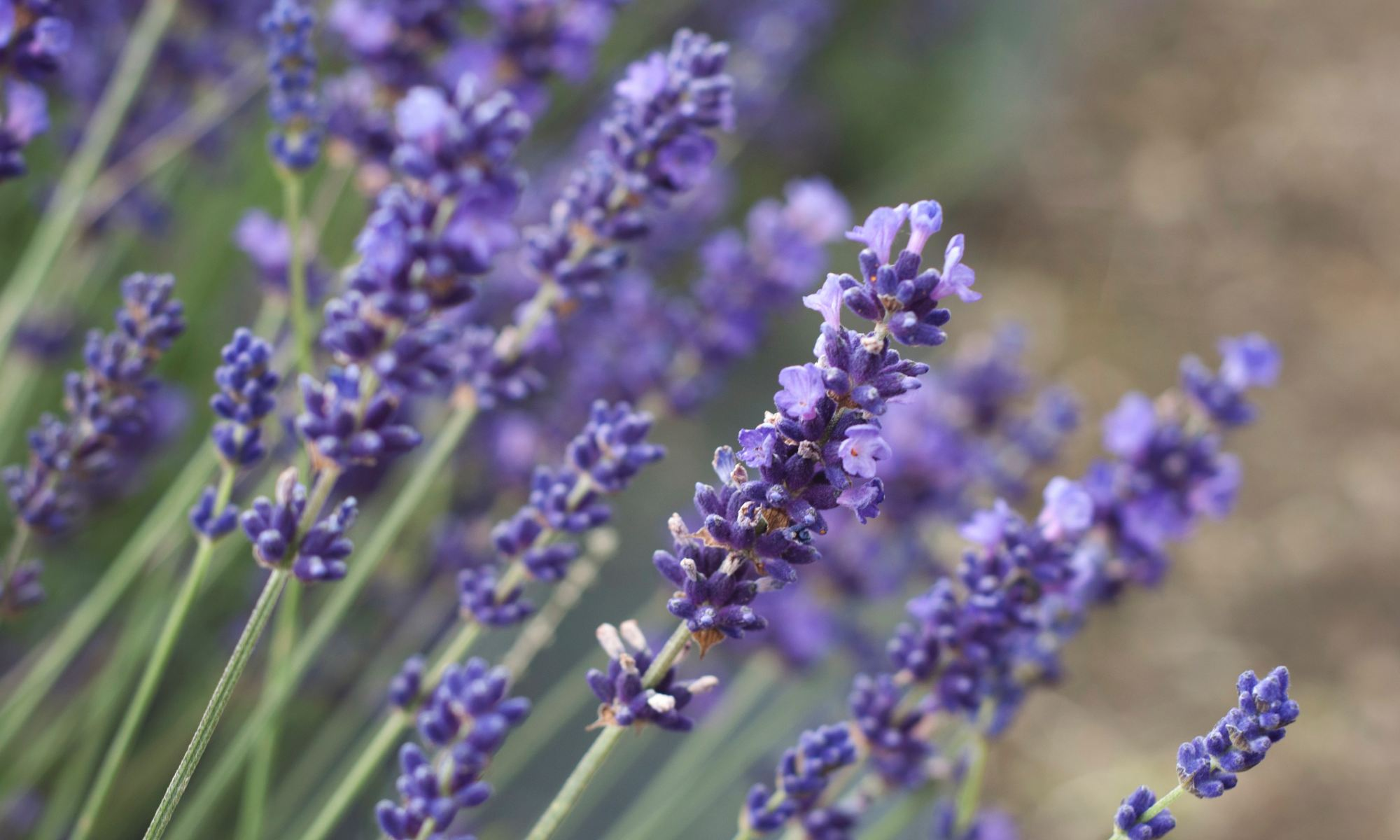 Lavender-colored flowers