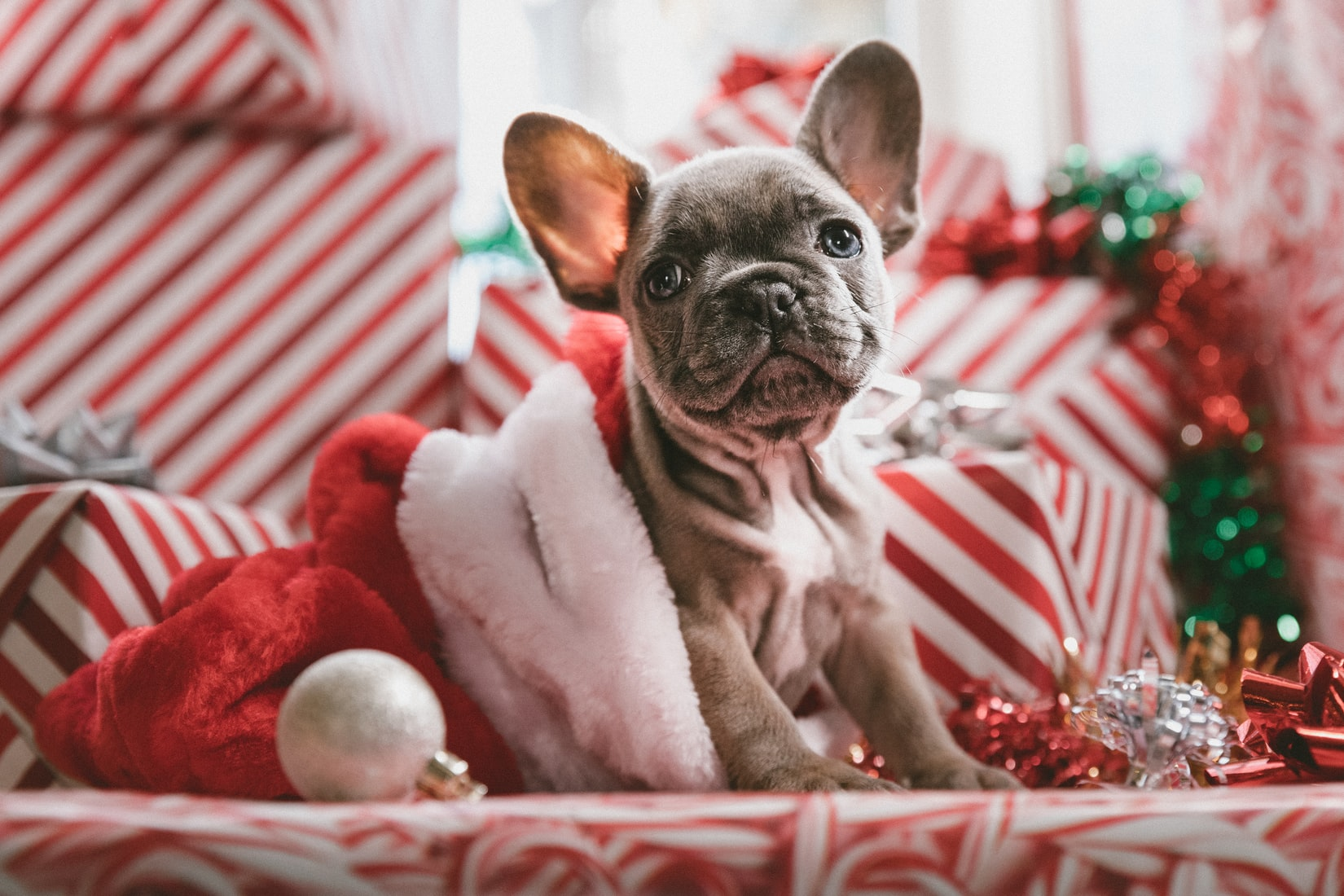 Brindle french bulldog puppy in Santa hat near Christmas presents