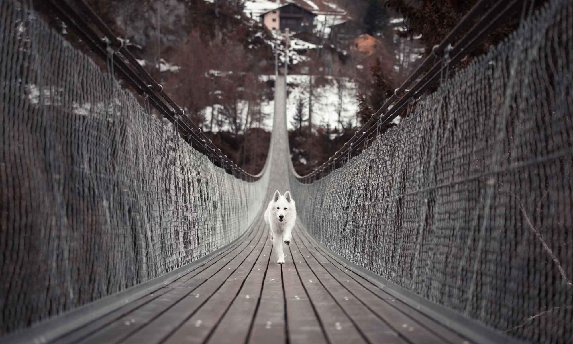 White dog running on narrow wooden bridge