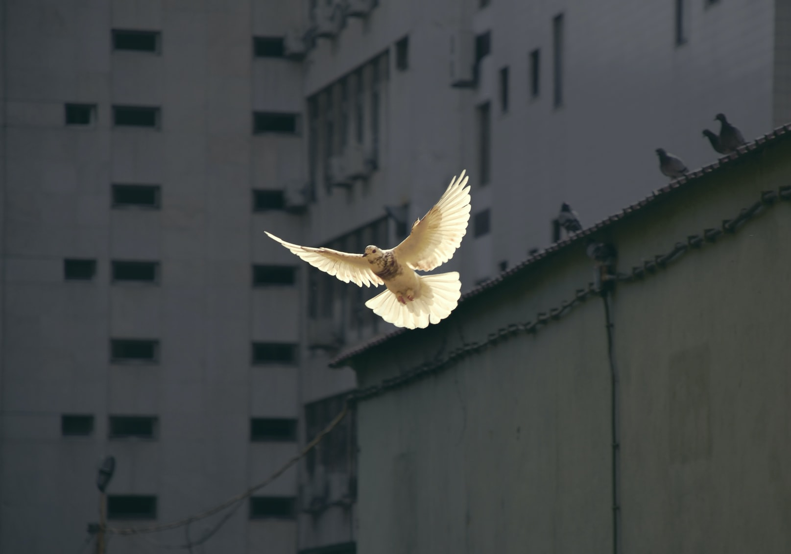 White dove flying near buildings